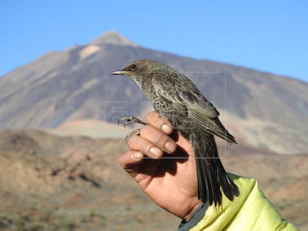 El mirlo capiblanco en el Teide ayuda a la pervivencia del cedro canario