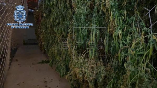Tres detenidos tras hallar una plantación de marihuana en Telde, Gran Canaria