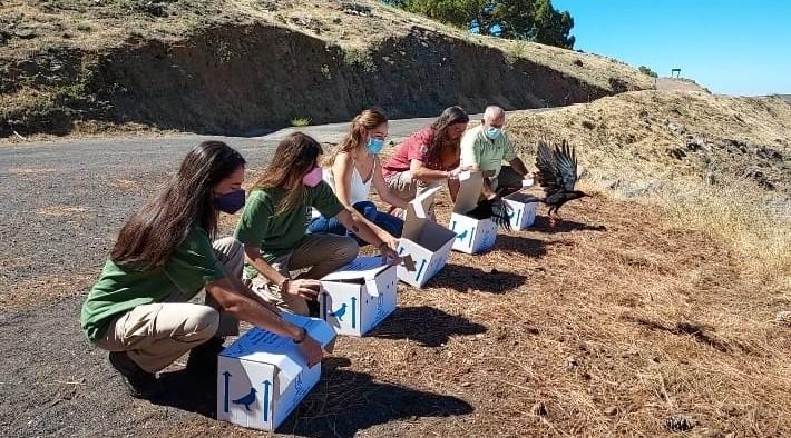 El Cabildo de la Palma devuelve cinco grajas a su territorio tras ser atendidas en el Centro de Rehabilitación de Fauna Silvestre